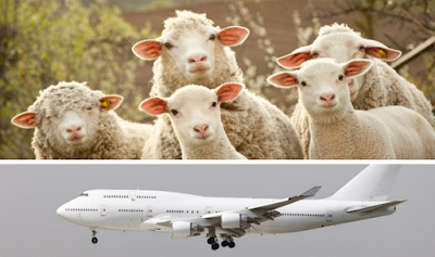 Αεροπλάνο πραγματοποίησε αναγκαστική προσγείωση λόγω των αερίων που άφηναν τα 2000 πρόβατα που κουβαλούσε