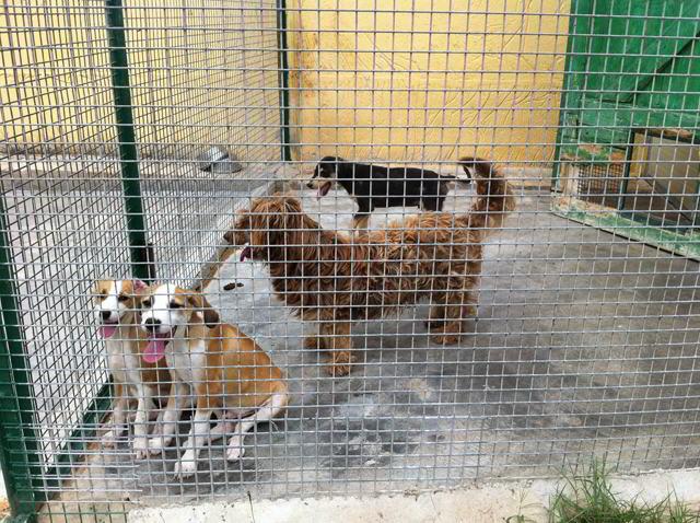 Adotta un cane a siracusa adottati i 2 miele cuccioli e - Barboncino piccolo ...
