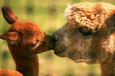 Alpacas Kiss Love Animal Pictures