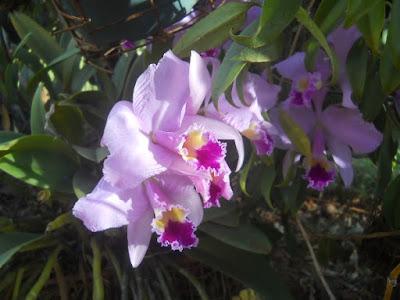Kauai hawaii Hawaiian orchids tropical flowers