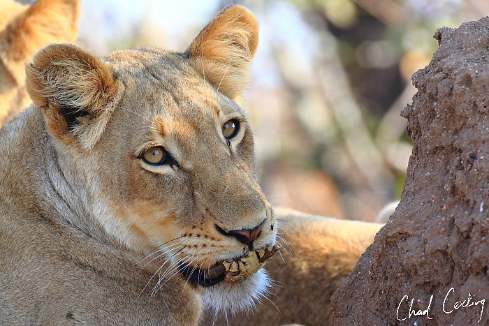 .: 6th October –Lion...
