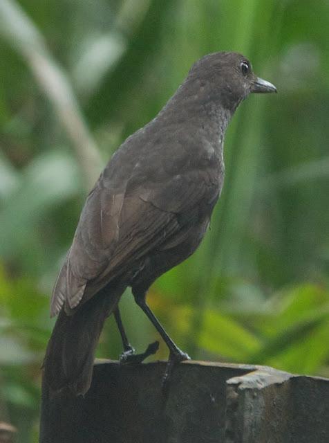 Bornean Whistling-thrush (Myophonus borneensis)