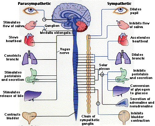 Standard Note: Peripheral and Autonomic nervous system