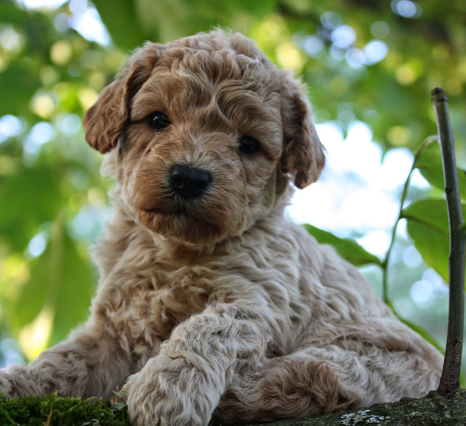Rules Of The Jungle: Labradoodle Puppies