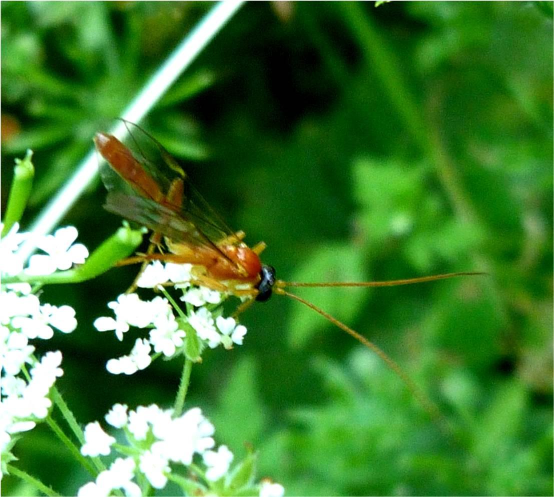 http://4.bp.blogspot.com/-DTPHjPm39iE/UAXCR770KlI/AAAAAAAABAU/2e7-Wu1k70g/s1600/Short-tailed+Ichneumon+Wasp+(Netelia+species)+(2).jpg