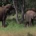 A farsa dos animais bêbados de amarula na floresta