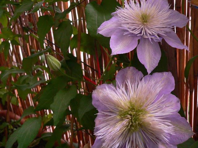 Balkon Blumen Gemüse Selbstversorger Pflanzen Innenstadt Oase Sommer Clemathis