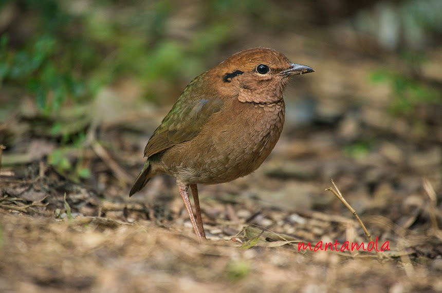 Rusty Naped Pitta (Pitta oatesi)