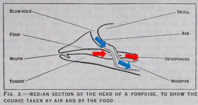 Porpoise airway