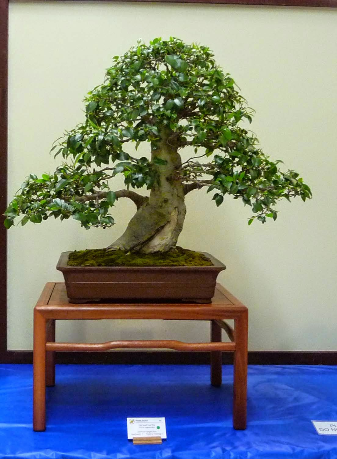 Bonsai Amp Pottery Post 169 Bonsai Society Of Queensland Exhibition