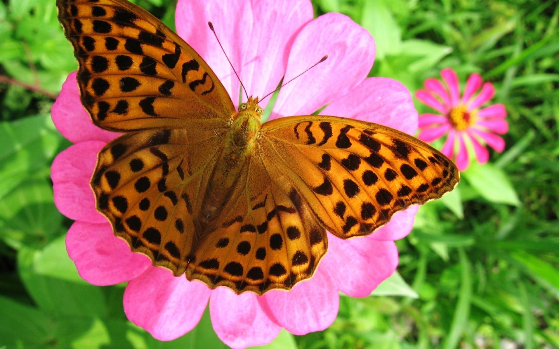 Linkamigratis 20 sfondi desktop farfalle 1440x900 for Sfondi farfalle gratis