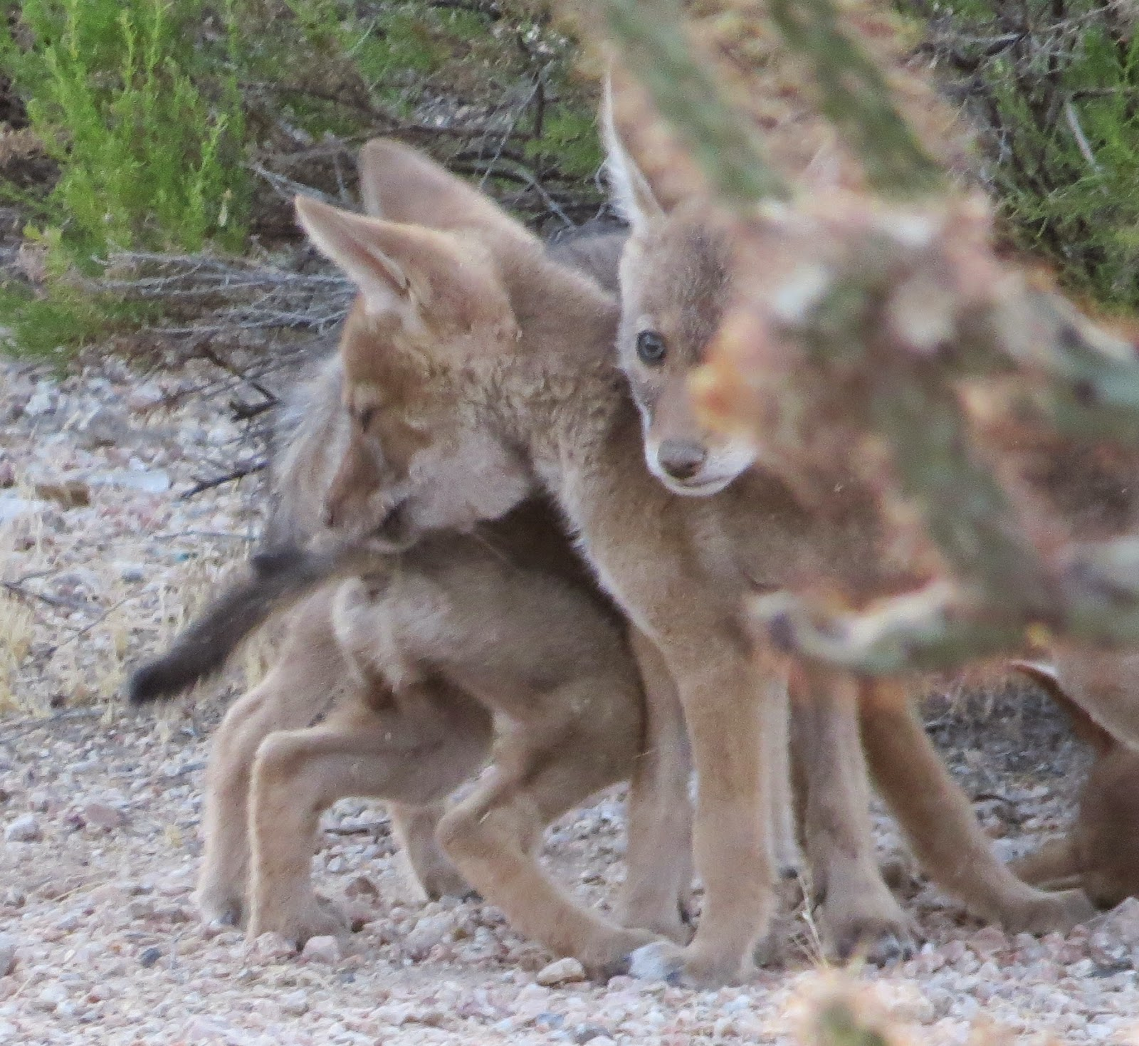 Coyotes are common in ...