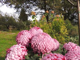 chrysantheme grosse fleur