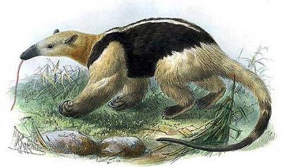 oso hormiguero de collar Tamandua tetradactyla