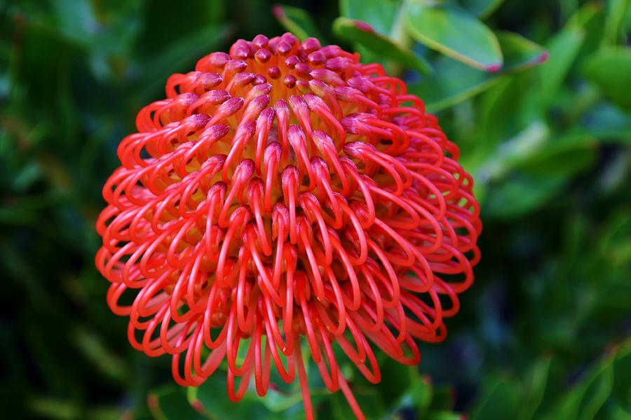 Pincushion Protea blossoms: Leucospermum