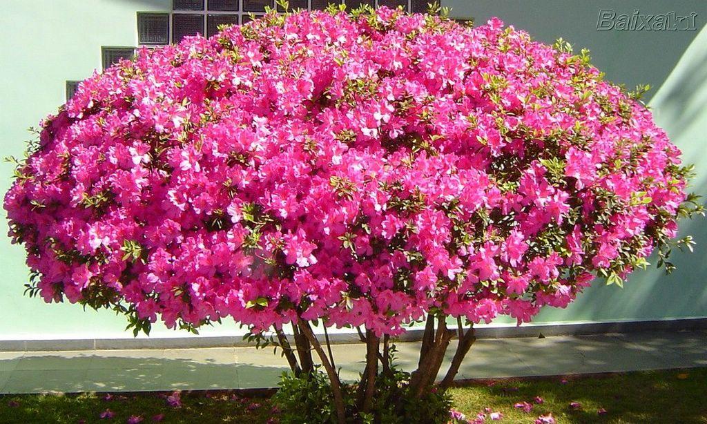 arvore manaca jardim:Mirian Decor: Plantas no Outono
