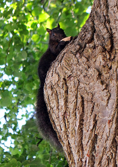 black squirrel, lunch, tree, Armory Park, salem, massachusetts,