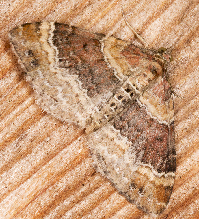 Red Twin-spot Carpet, Xanthorhoe spadicearia.  Geometridae.  Moth trap at Sevenoaks Wildlife Reserve, 27 April 2014.