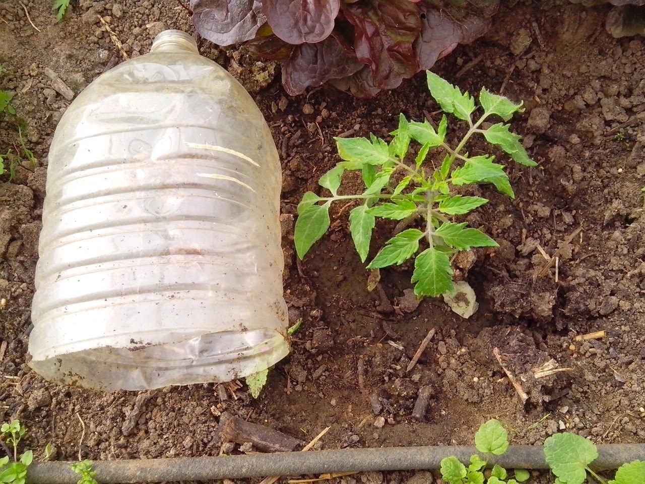 Le potager des violettes semis de printemps 2015 for Protection plante gel