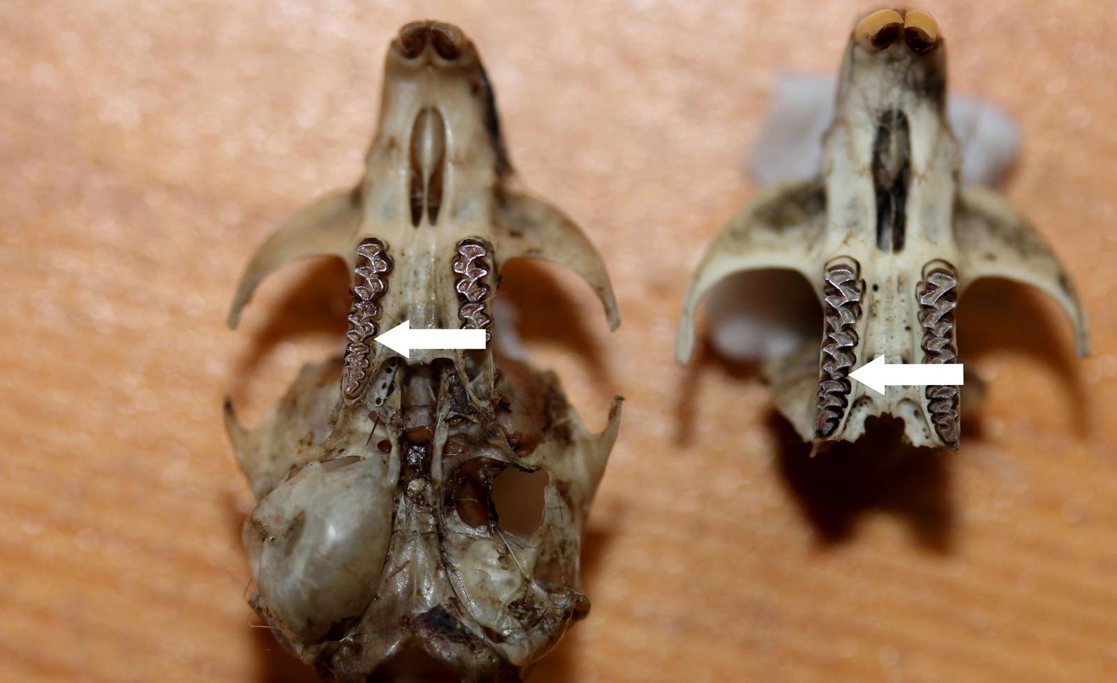 Montane vole skull