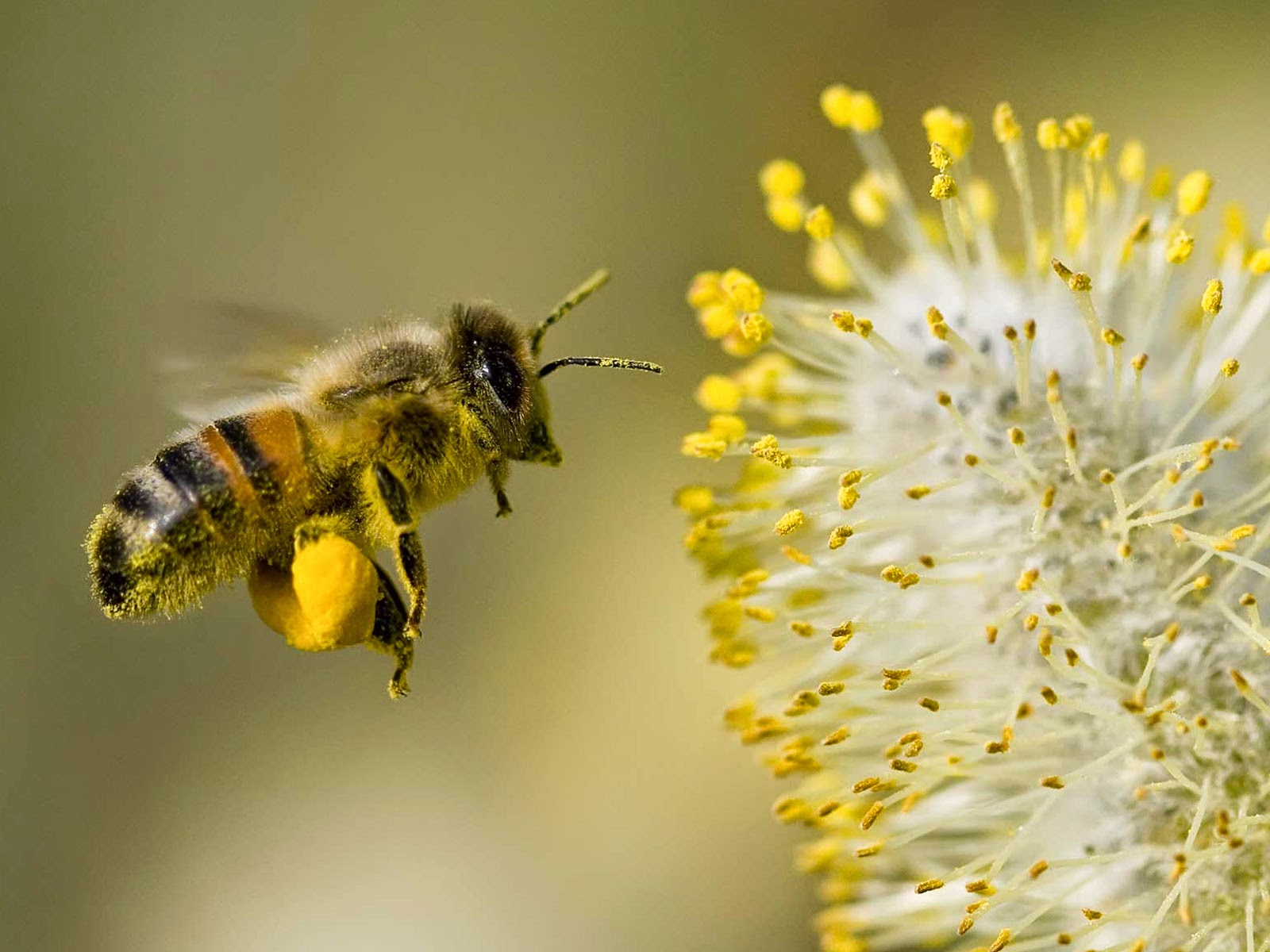 pollen alergy