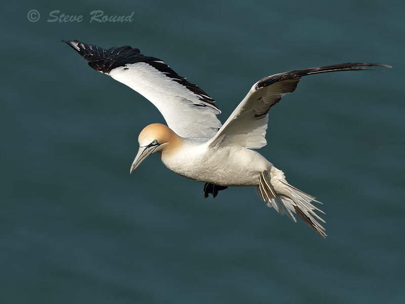gannet, seabird, bird, wildlife, nature