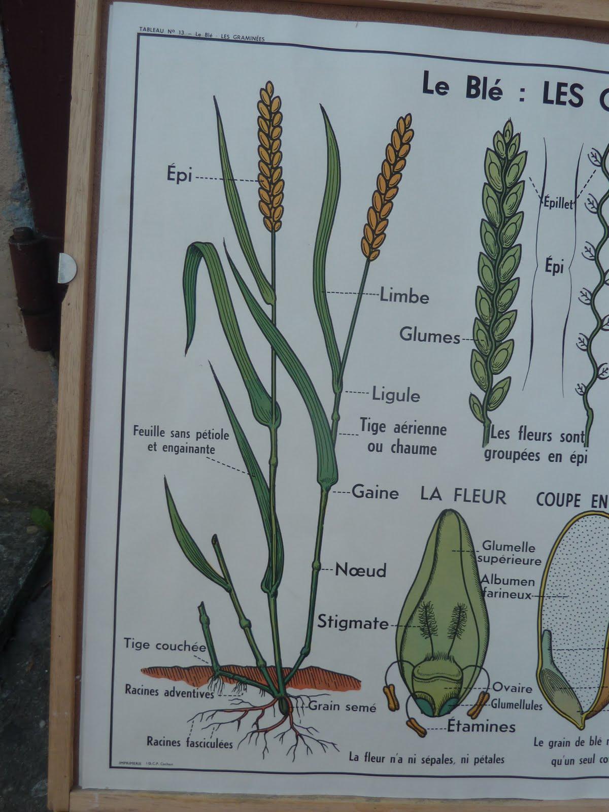 Wheat Botanical Illustration French botanical poster 1960Wheat Botanical Illustration