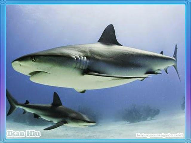 gambar ikan hiu terbesar didunia