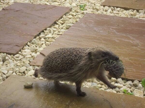 Funny animals of the week - 21 March 2014 (40 pics), funny animal pictures, mommy hedgehog takes her baby with mouth