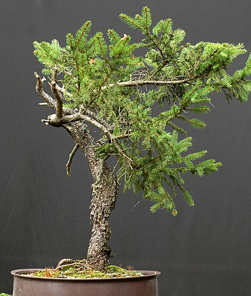walter pall bonsai adventures spruce 42 without wire rh walter pall bonsai blogspot com Bonsai Redwood Juniper Bonsai