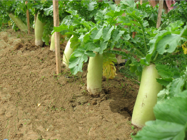 Cara Budidaya Lobak Di Lahan Pertanian