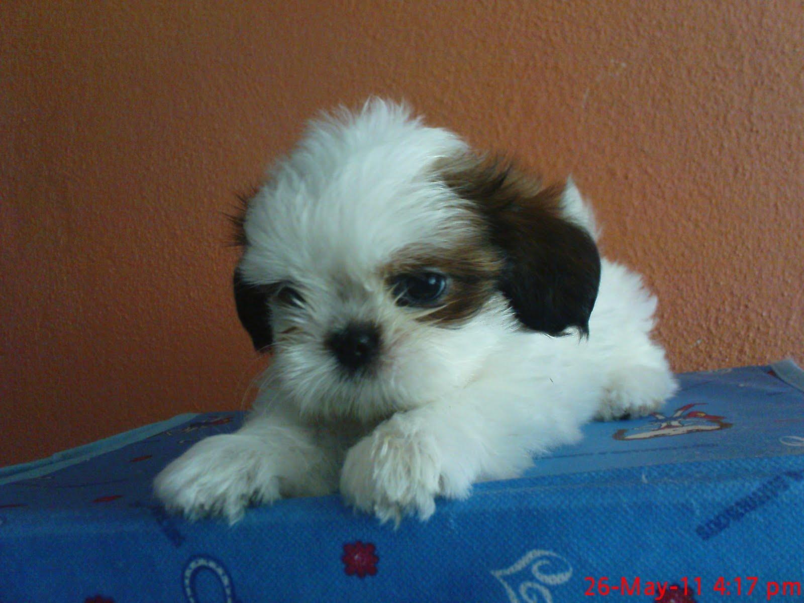 tiny shih tzu puppies for sale arizona akc shih tzu breeder - HD1600×1200