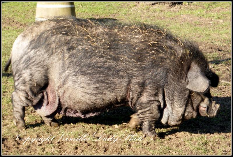 Pig Queen's Hamlet Versailles