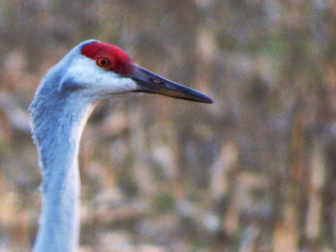 Sandhill Crane National Wildlife Federation >> Geotripper S California Birds Bird Of The Day Sandhill Cranes At