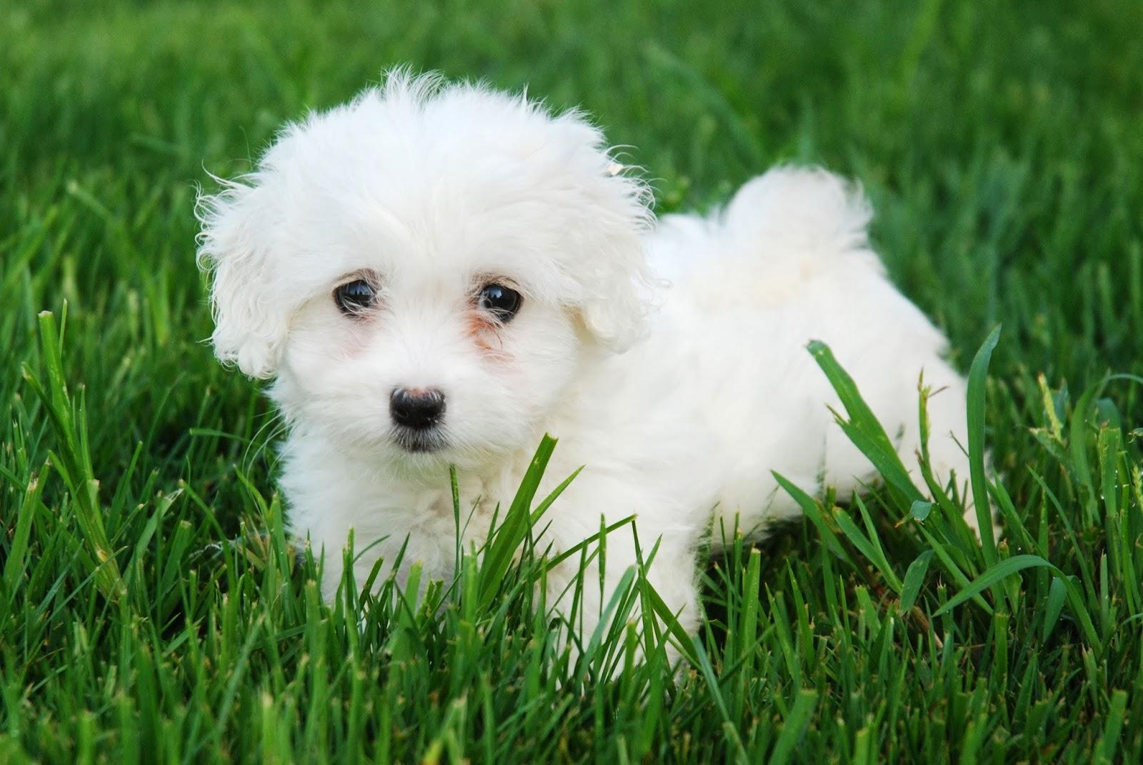 Imagenes de Perritos: Perrito tierno blanco