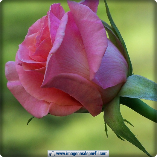 Bonitas De Rosas Para Perfil Facebook Imagenes