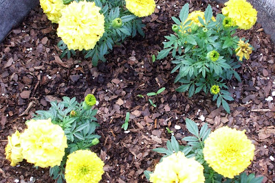 yellow marigolds blooming and orange marigolds emerging
