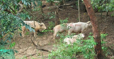 white carabao buffaloes at Zoobic Safari