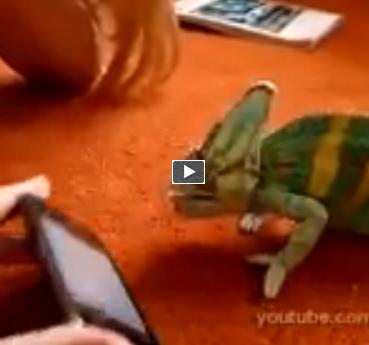 Video incredibili animali le reazioni di un camaleonte di fronte alla tecnologia - Le finestre di fronte ...