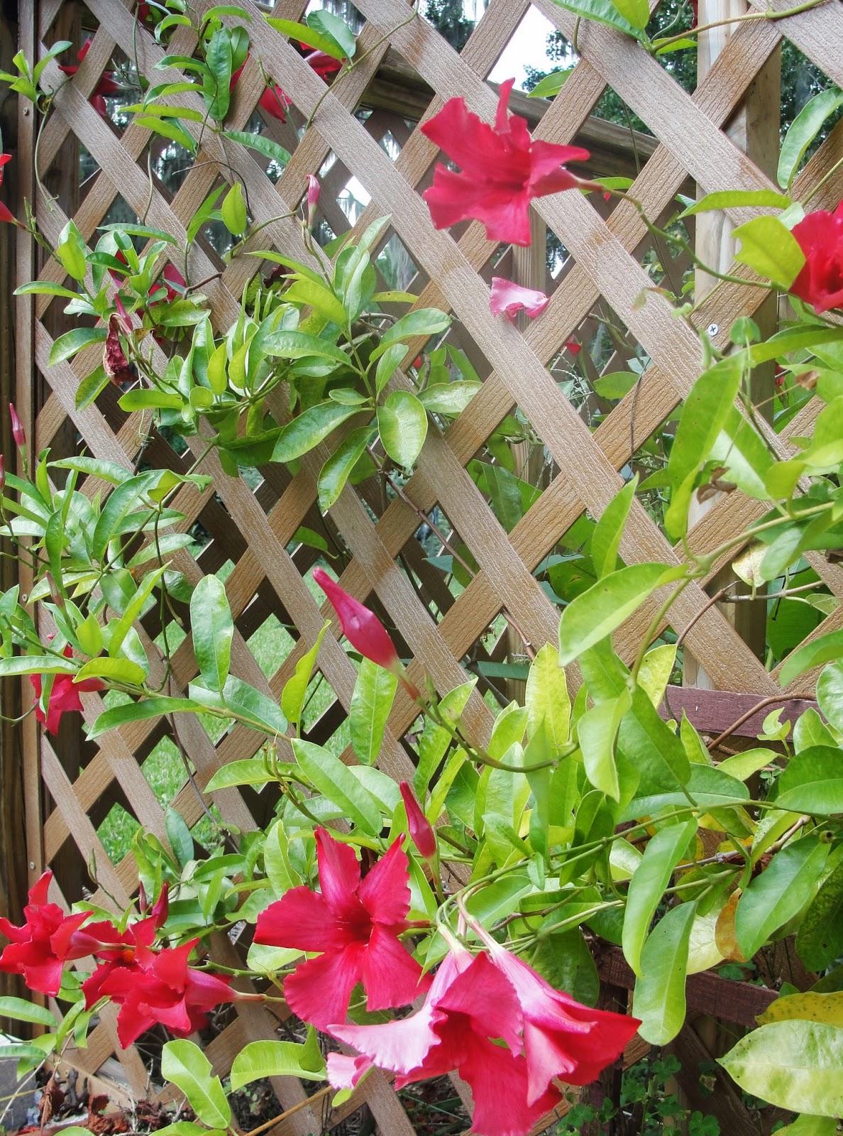 Central Florida Gardener Mandevilla A Mannerly Vine