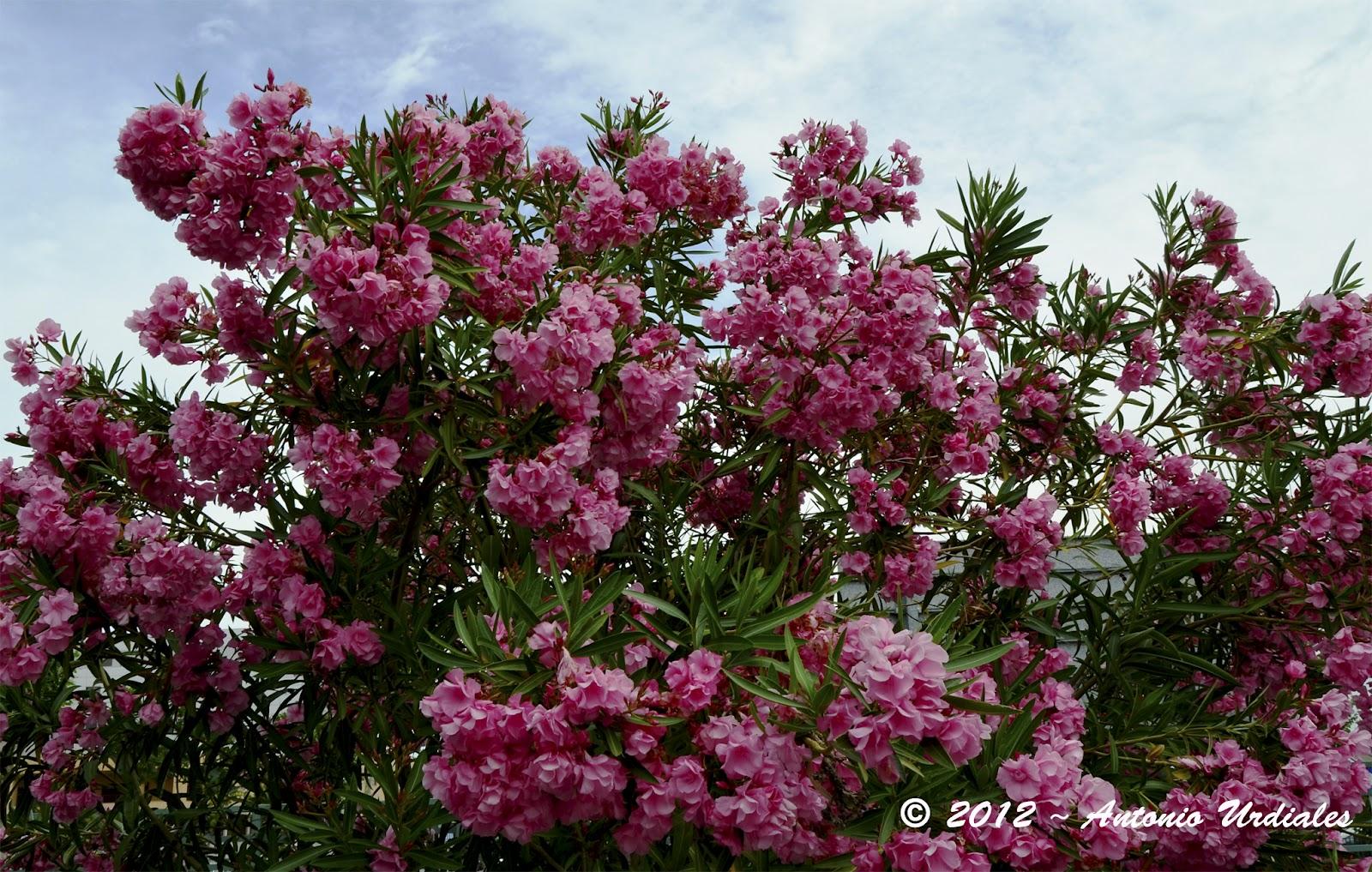El iris de mi objetivo primavera rboles y flores - Rododendro arbol ...
