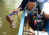 Gila Mancing Ikan Mangrove Jack Catch And Release ( CnR )