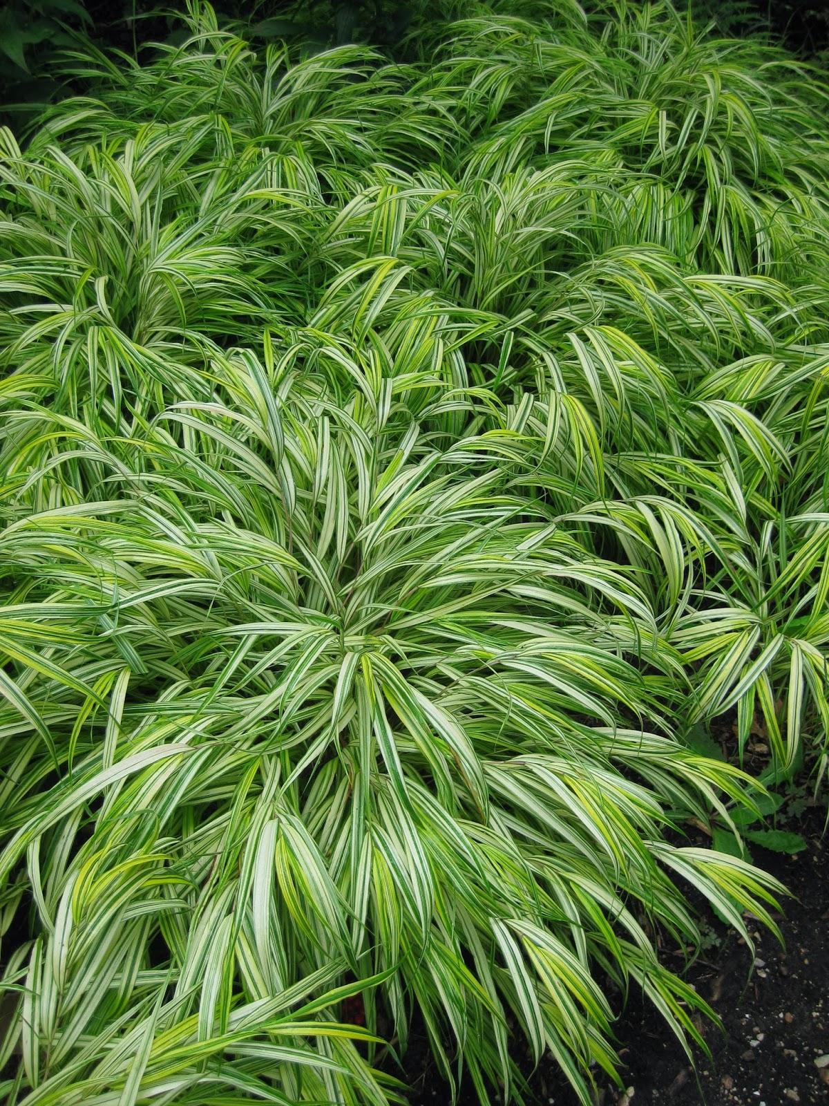 Rotary botanical gardens hort blog hakone grass a for Tall oriental grass