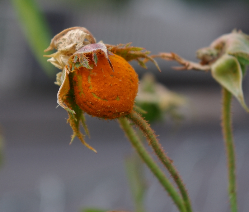 rudolfs park historischer rosen rosen monster pilze. Black Bedroom Furniture Sets. Home Design Ideas