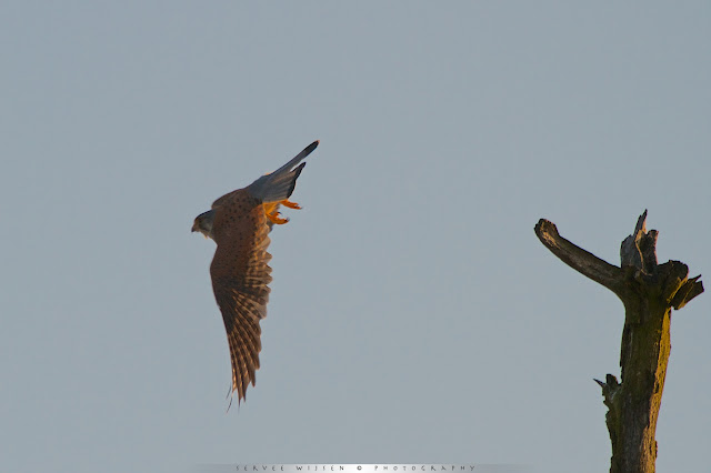 Torenvalk (m) - Common Kestrel (m) - Falco Tinnunculus