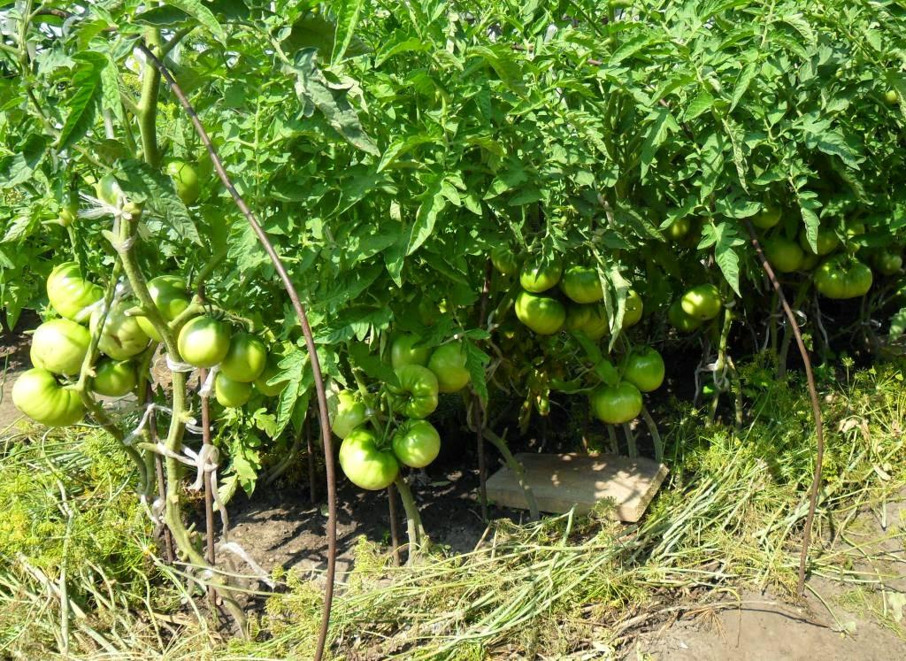 """Грядка помидоров выращенных из """"срезок"""" радует отличными плодами!"""