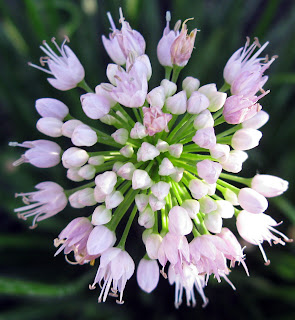 Allium Summer Beauty flower closeup