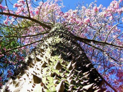 7 Pohon Langka Dan Unik Di Dunia