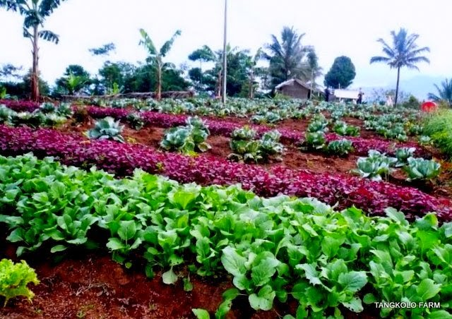 Usaha Pertanian Sayuran Intensif Yang Modern Cara Budidaya