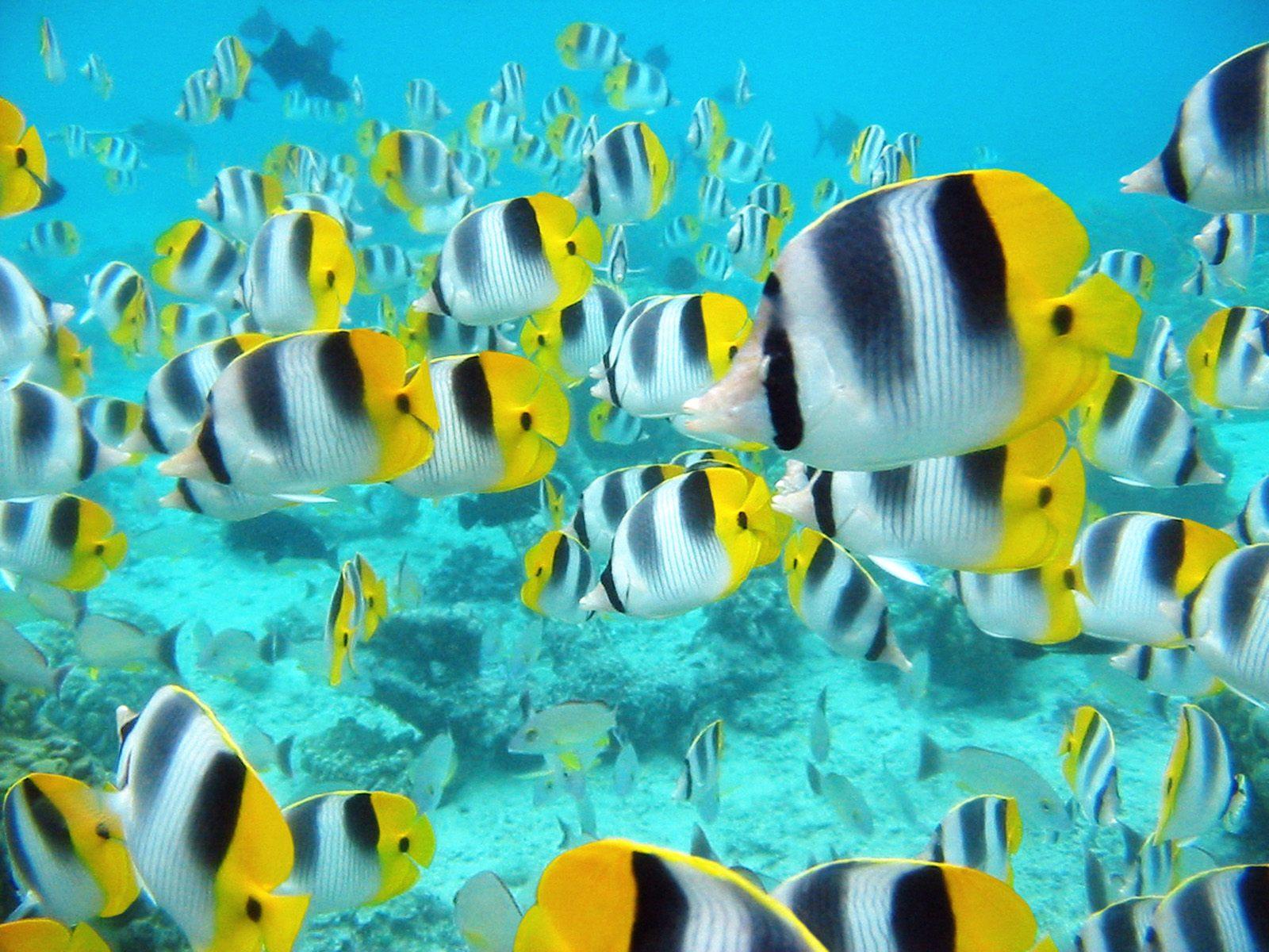 http://4.bp.blogspot.com/-D_nUypKl9Uo/ThM3cGRuWuI/AAAAAAAAK9M/Qs9sSFQFmz8/s1600/tahitian-tropical-fish-wallpaper.jpg